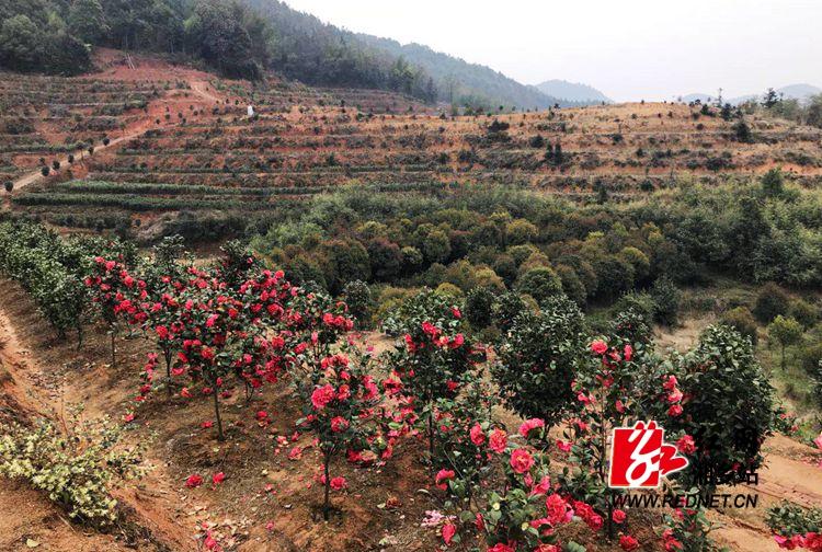 在湘乡市金石镇石坝村东泉家庭农场的茶花园里,漫山遍野 的茶花竞相开
